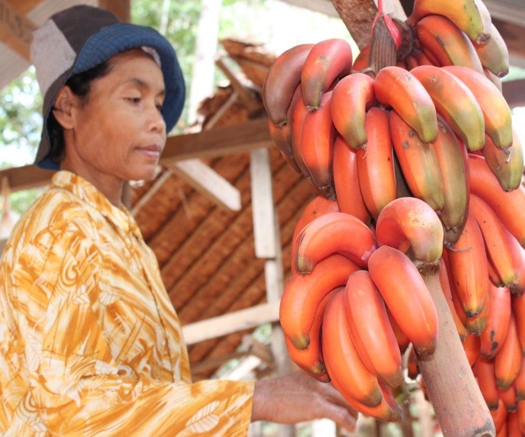 Red Jungle Bananas
